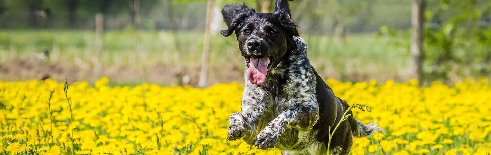 Laparoscopische sterilisatie hond